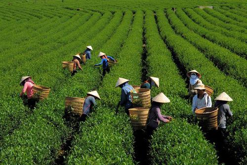 GREEN TEA EXPORTS - KIM VUONG EXPORT IMPORT Co.,JSC